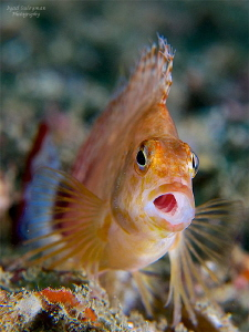 Hawkfish by Iyad Suleyman 